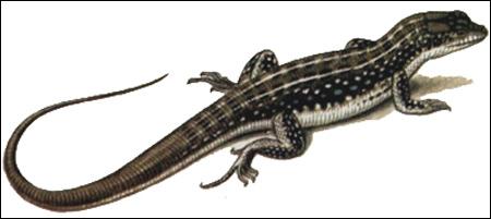 Ящурка Штрауха (Eremias strauchi), Рисунок картинка рептилии ящерицы