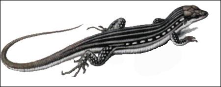 Таджикская ящурка (Eremias regeli), Рисунок картинка рептилии ящерицы