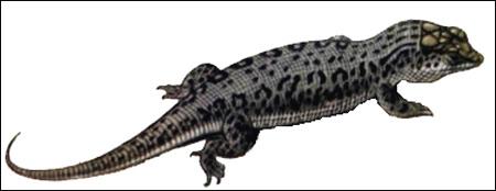 Черноглазчатая ящурка, чернопятнистая ящурка (Eremias nigrocellata), Рисунок картинка рептилии