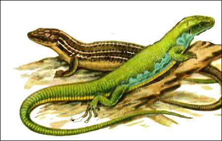 Средняя ящерица, трехлинейная ящерица - пара (Lacerta trilineata), Рисунок картинка рептилии
