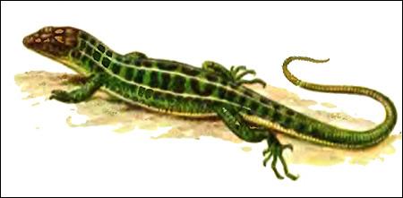 Прыткая ящерица - самец (Lacerta agilis), Рисунок картинка рептилии