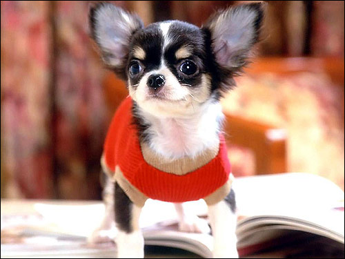 Щенок короткошерстного чихуахуа чихуа, Фото фотография собаки картинка