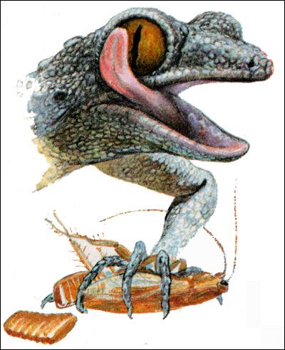 Средиземноморский геккон (Cyrtopodion kotschyi), Рисунок картинка рептилии ящерицы