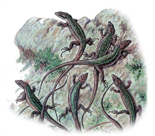 Скальная ящерица (Lacerta saxicola), Рисунок картинка рептилии
