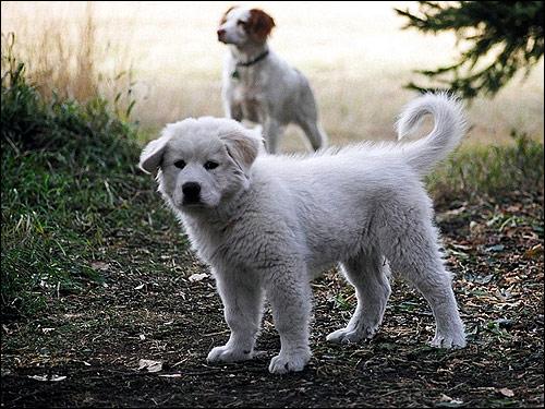 Белый щенок, Фото фотография собаки