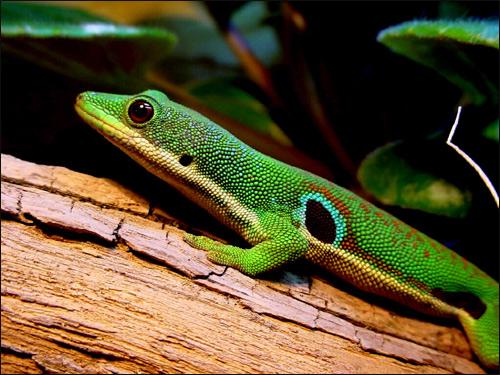 Фельзума четырехглазковая (Phelsuma quadriocellata), Фото фотография картинка рептилии ящерицы
