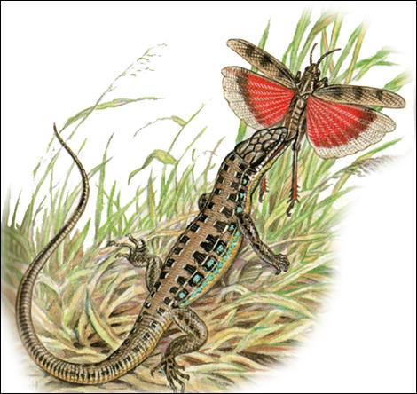 Малоазиатская ящерица (Lacerta parva), Картинка рисунок рептилии
