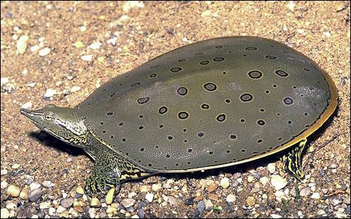 Черепаха восточная мягкокожая колючая (Apalone spinifera), Фото фотография картинка рептилии