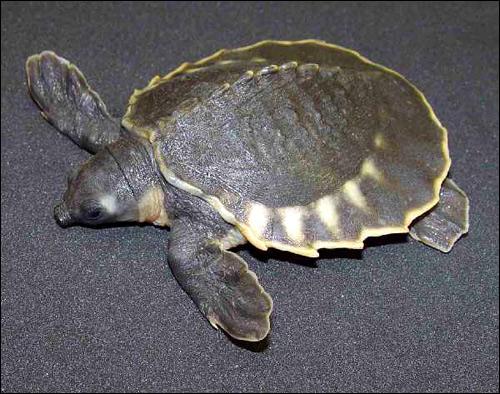 Двухкоготная черепаха, свинорылая черепаха, свиноносая черепаха (Carettochelys insculpta), Фото фотография картинка рептилии