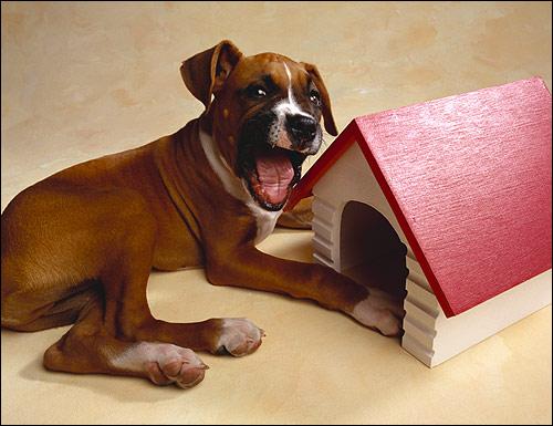 Щенок боксера боксёр, Фото фотография собаки картинка