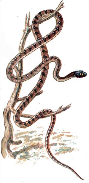 Бойга индийская (Boiga trigonatum), Картинка рисунок рептилии змеи