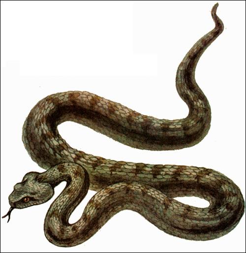 Гюрза (Vipera lebetina), Рисунок картинка рептилии змеи