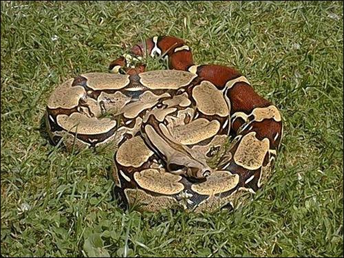 Удав обыкновенный (Constrictor constrictor, Boa constrictor), Фото фотография картинка рептилии змеи