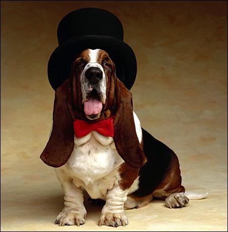Бассет-хаунд в шляпе, Фото фотография собаки смешная картинка