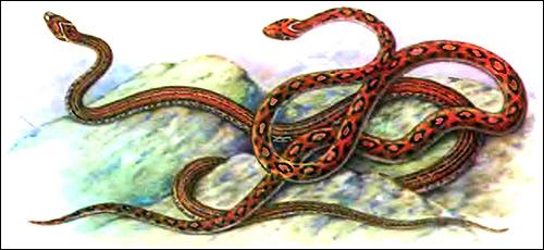 Леопардовый полоз (Elaphe leopardina), Рисунок картинка рептилии змеи
