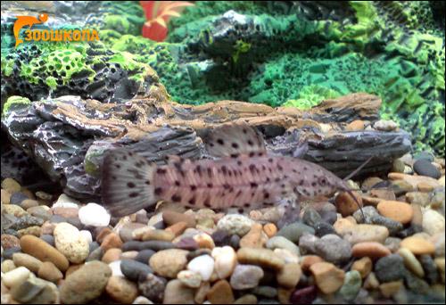 Каллихт черепитчатый, панцирный сомик-каллихт (Callichthys callichthys), Фото фотография изображение рыбы