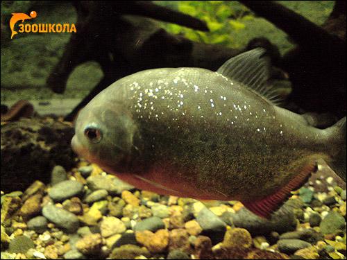 Рыба пиранья. Владивостокский океанариум, Фото фотография картинка