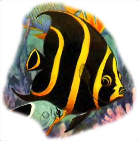Желтополосая рыба-ангел (Pomacanthus paru), Рисунок картинка