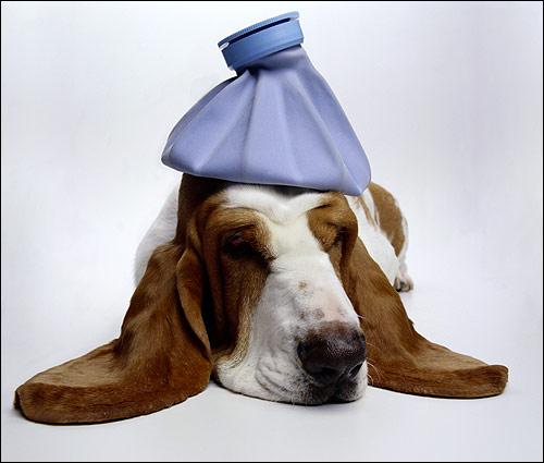 Бассет-хаунд с грелкой на голове, Фото фотография смешная картинка собаки