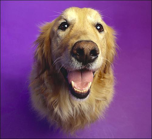Золотистый ретривер, голден, Фото фотография собаки картинка