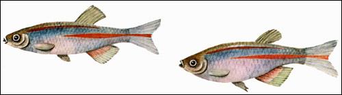 Данио розовый (Brachydanio albolineatus), Рисунок картинка рыбы