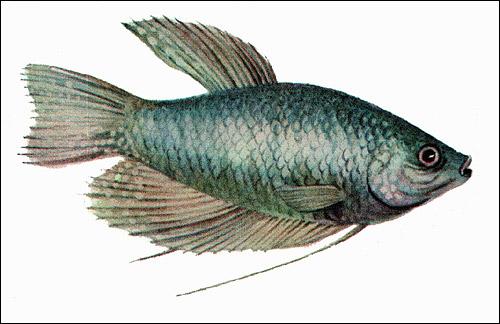Гурами голубой (Trichogaster trichopterus), Рисунок картинка