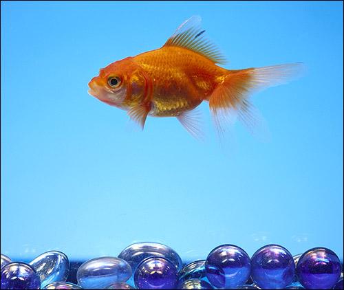 Золотая рыбка, Фото фотография рыбы