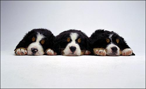 Спящие щенки бернского зенненхунда, Фото фотография собаки картинка