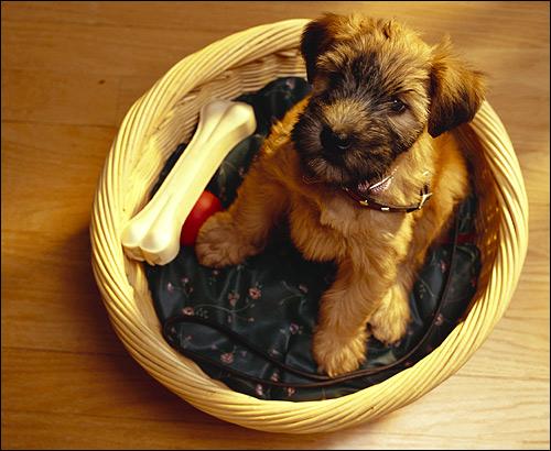 Щенок в корзинке, Фото фотография собаки картинка
