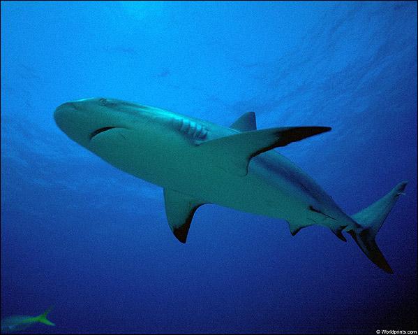 Рифовая акула, Фото фотография