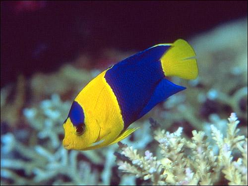 Желто-синяя рыбка, Фото фотография