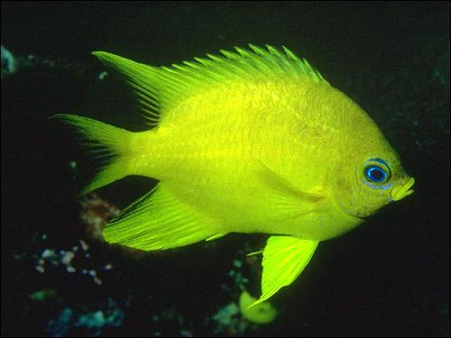 Желтая рыба, Фото фотография