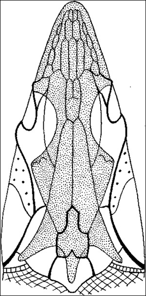 Череп осетра, Рисунок фотография