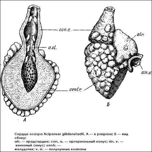 Сердце осетра (Acipenser