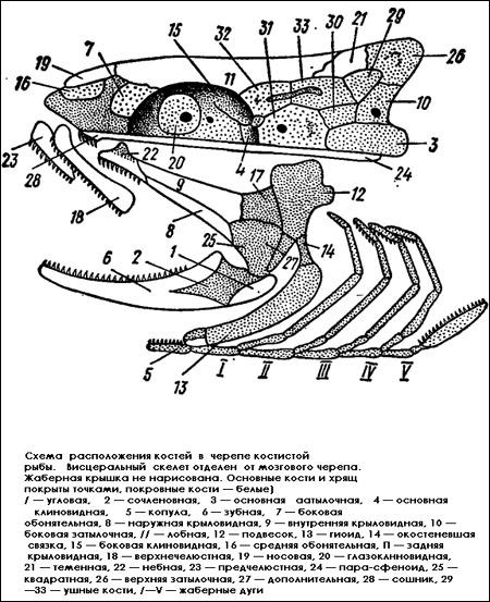 Схема расположения костей в