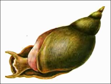 Обыкновенный прудовик (Lymnaea stagnalis), Картинка рисунок