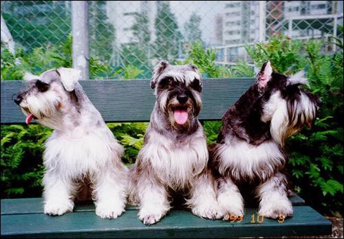 Шнауцеры, Фото фотография собака картинка