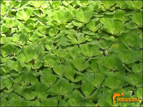 Пистия, водный салат (Pistia stratiotes), Фото фотография аквариумные растения