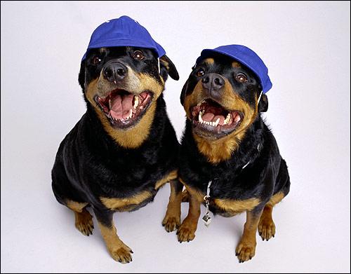 Ротвейлеры в кепках, Фото фотография собаки картинка