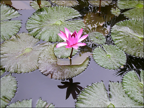 Водяная лилия или кувшинка (Nymphea alba), Фото фотография