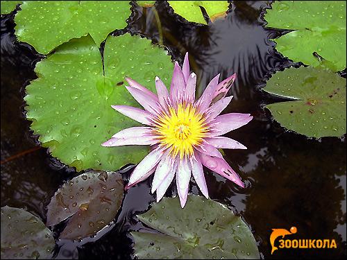 Водяная лилия или кувшинка (Nymphea alba), Фото фотография аквариумные растения