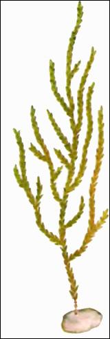Мох обыкновенный ключевой (Fontinalis antipyretica), Картинка рисунок аквариумные растения
