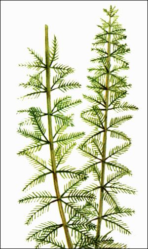 Перистолистник бразильский (Myriophyllum brasiliense), Картинка рисунок аквариумные растения