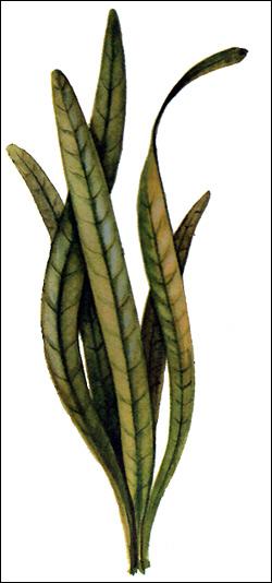 Стрелолист широколистный (Sagittaria platyphylla), Картинка рисунок аквариумные растения