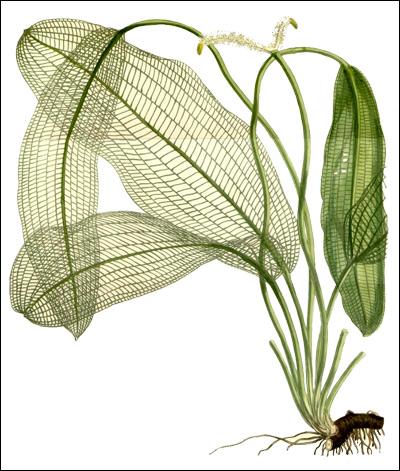 Апоногетон мадагаскарский (Aponogeton madagascariensis), Рисунок картинка Sir William Jackson Hooker, аквариумные растения