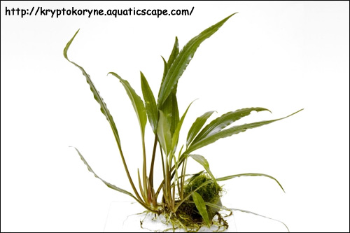 Лагенандра Твайтези (Lagenandra thwaitesii), Фото фотография аквариумные растения