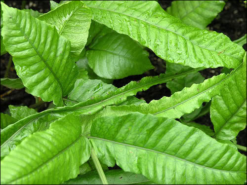 Болбитис причудливый (Bolbitis heteroclita), Фото фотография аквариумные растения