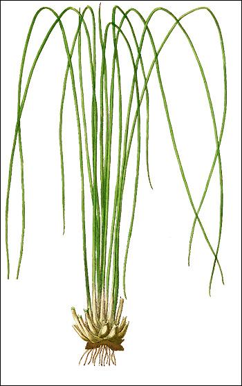 Полушник озерный (Isoetes lacustris), Рисунок картинка аквариумные растения