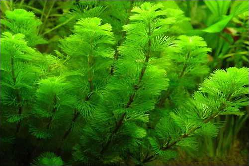 Кабомба кустистая, кабомба водная, кабомба обыкновенная (Cabomba aquatica), Фото фотография аквариумные растения