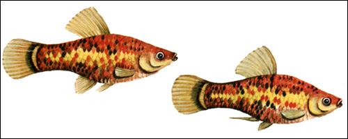 Пятнистая пецилия, плятипецилия (Poecilia maculatus, Xiphophorus maculatus), Фото фотография рыбы